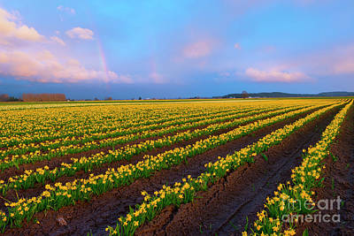 Double Rainbow Photograph - Rainbows, Daffodils And Sunset by Mike Dawson