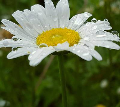 Photograph - Raindrop On A Daisy by Tiffany Erdman