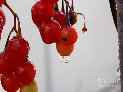 Solanum Dulcamara Photograph - Raindrop On Nightshade Berry by William Tasker