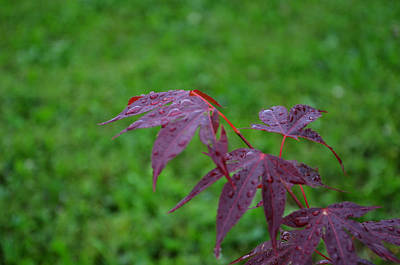 Photograph - Raindrops On A Japanese Maple by Evelyn Odango