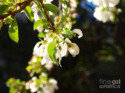Photograph - Raindrops On Crab Apple Blossoms by Christine S Zipps