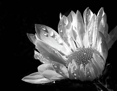 Flowers And Water Drops Wall Art - Photograph - Raindrops On Daisy Black And White by Jennie Marie Schell