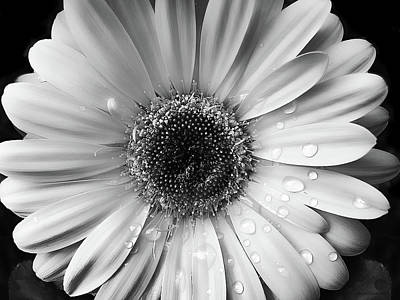 Gerber Daisy Photograph - Raindrops On Gerber Daisy Black And White by Jennie Marie Schell