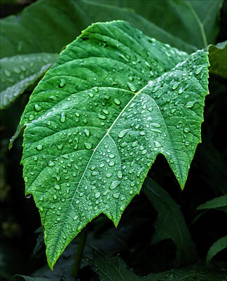 Raindrops On Leaf Print by Robert Ullmann