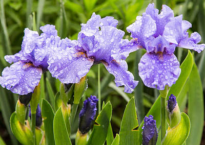 Raindrops On Iris's Art Print