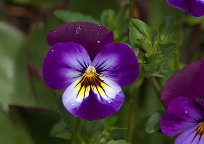 Photograph - Raindrops On Pansies by Jeanette C Landstrom