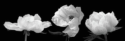 Photograph - Raindrops On Peonies Black And White Panoramic by Gill Billington
