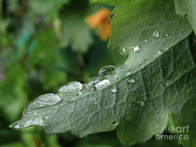 Photograph - Raindrops On Poppy Leaf #2 by Kim Tran