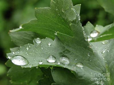 Photograph - Raindrops On Poppy Leaf #4 by Kim Tran