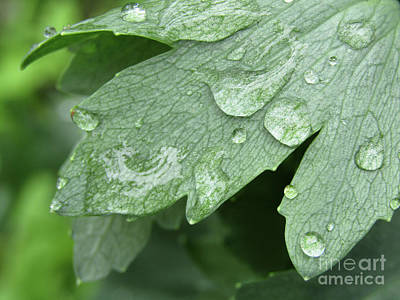 Photograph - Raindrops On Poppy Leaf by Kim Tran