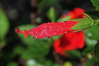 Photograph - Raindrops On Red by Michiale Schneider