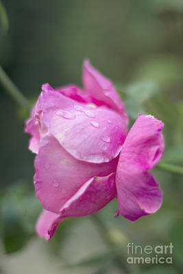 Photograph - Raindrops On Rose by Cindy Garber Iverson