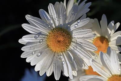 Photograph - Raindrops On The Daisy by Lynn Hopwood