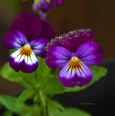 Photograph - Raindrops On The Pansies by Jeanette C Landstrom