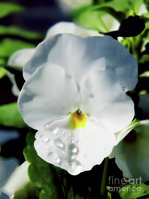 Photograph - Raindrops On The White Pansy by D Hackett