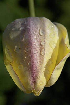 Photograph - Raindrops On Tulips by Jane Eleanor Nicholas
