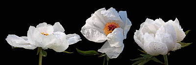 Photograph - Raindrops On White Peonies Panoramic by Gill Billington