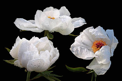 Photograph - Raindrops On White Tree Peonies by Gill Billington