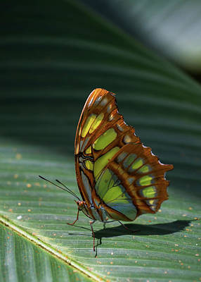 Photograph - Rainforest Butterfly by Arthur Dodd