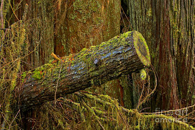 Photograph - Rainforest Log by Adam Jewell