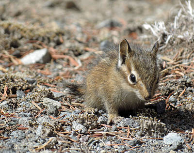 Photograph - Rainier Chipmunk by Chris Anderson