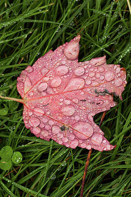 Photograph - Raining Leaf by Karol Livote