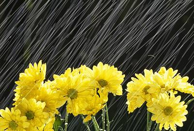 Pour Photograph - Raining On Yellow Daisies by Natural Selection Craig Tuttle