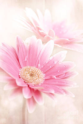 Gerbera Daisy Digital Art - Raining Petals by Sharon Mau