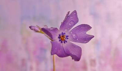 Photograph - Raining Violet by Barbara St Jean