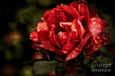 Rosaceae Photograph - Rainkissed by Venetta Archer