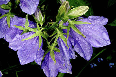 Photograph - Rainy Balloon Flower by Betsy Zimmerli