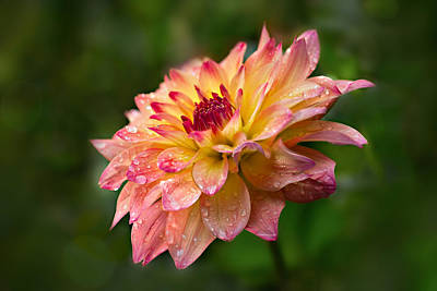 Rainy Dahlia Art Print by Mary Jo Allen