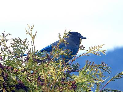 Photograph - Rainy Day And A Stellar Jay by Will Borden