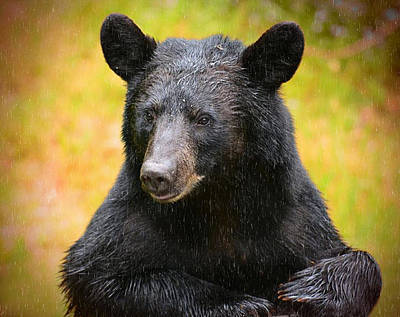 Photograph - Rainy Day Backyard Bear by Bernadette Chiaramonte