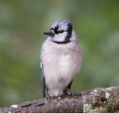 Photograph - Rainy Day Blue Jay by Diane Giurco