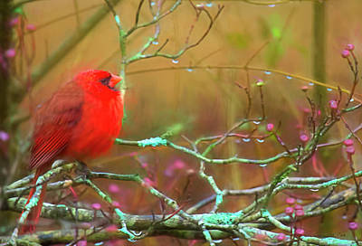 Photograph - Rainy Day Cardinal by Bellesouth Studio