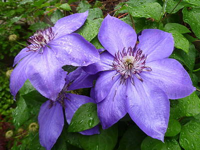 Photograph - Rainy Day Clematis Blue by Lingfai Leung