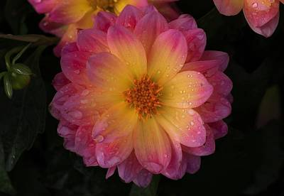 Photograph - Rainy Day Dahlias by Lynn Hopwood