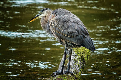 Photograph - Rainy Day Heron by Belinda Greb