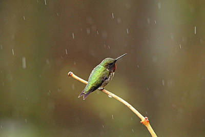 Photograph - Rainy Day Hummingbird by Debbie Oppermann