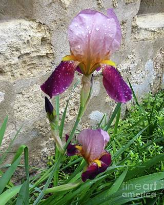 Photograph - Rainy Day Iris Trio by Barbie Corbett-Newmin