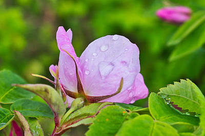 Photograph - Rainy Day Rose by Cathy Mahnke