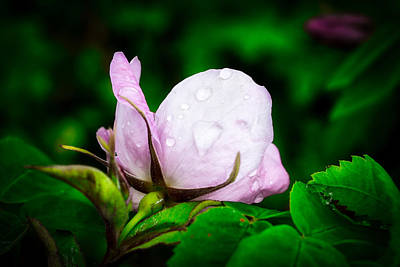 Photograph - Rainy Day Rose Number 2 by Cathy Mahnke