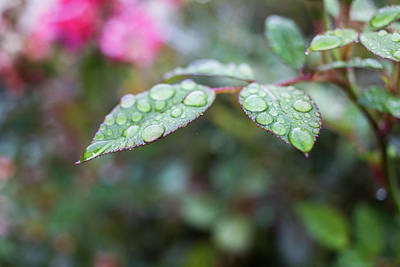 Photograph - Rainy Leaf 2 by Kelly Smith