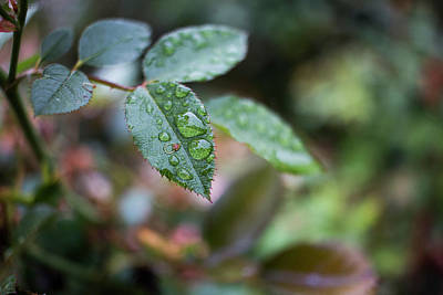 Photograph - Rainy Leaf by Kelly Smith