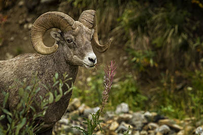 Photograph - Ram Eating Fireweed by Belinda Greb
