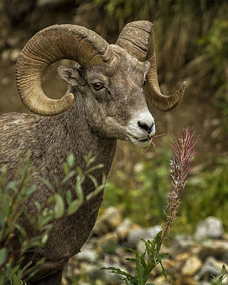 Photograph - Ram Eating Fireweed Cropped by Belinda Greb