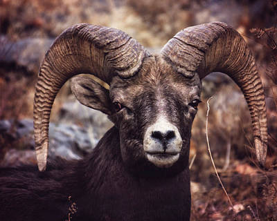 Photograph - Ram by Erica Kinsella