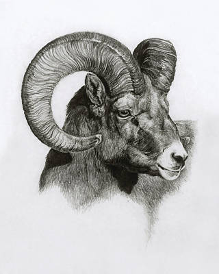 Ram Drawing - Ram by Heather Theurer