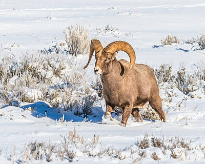 Art Print featuring the photograph Ram In Rut by Yeates Photography